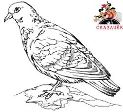 Сизый голубенок