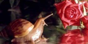 Улитка и розы-Авторские
