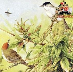 Птичий царь - Кук